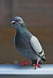 Pigeon - pigeon poo is bad for car paintwork